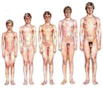 rast penisu podľa veku